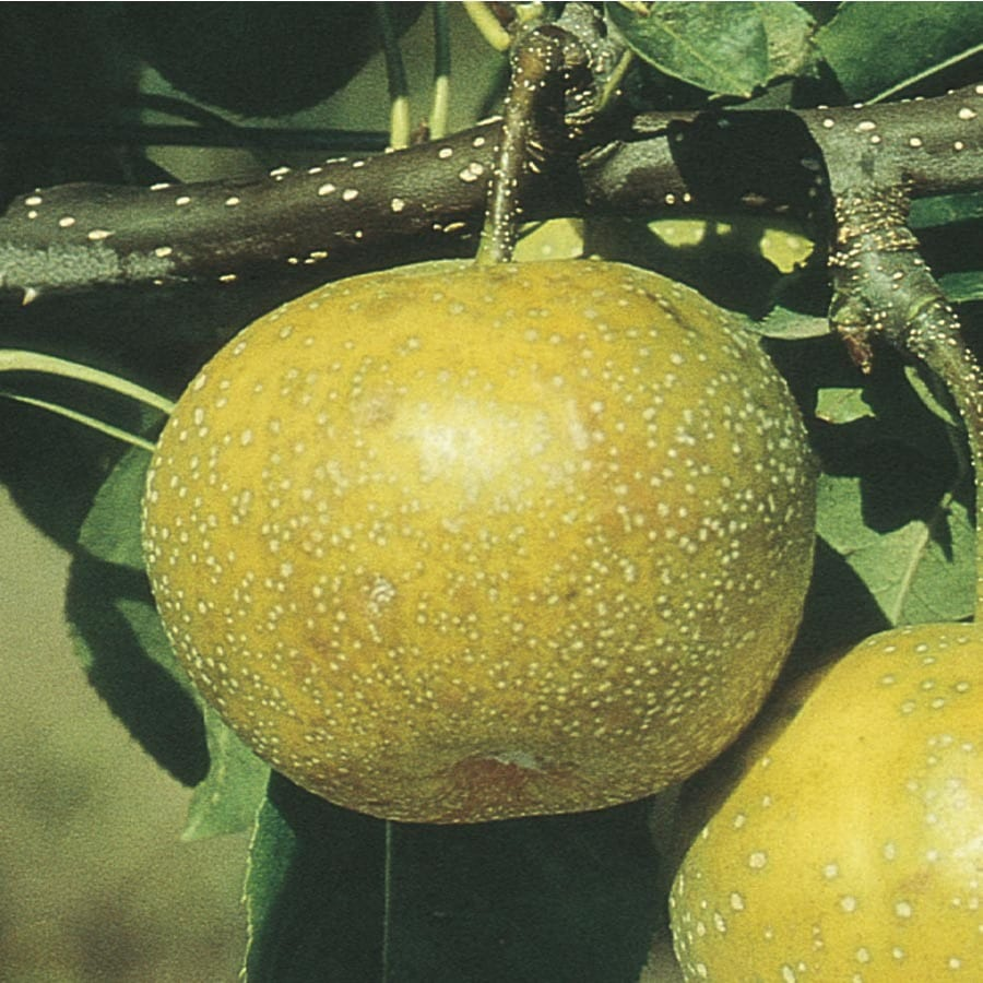 Asian pears nc