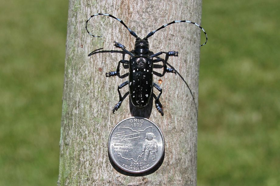 Asian longhorned beetle pest