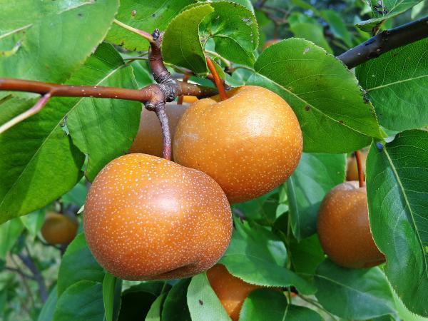 Black L. reccomend Asian pears nc