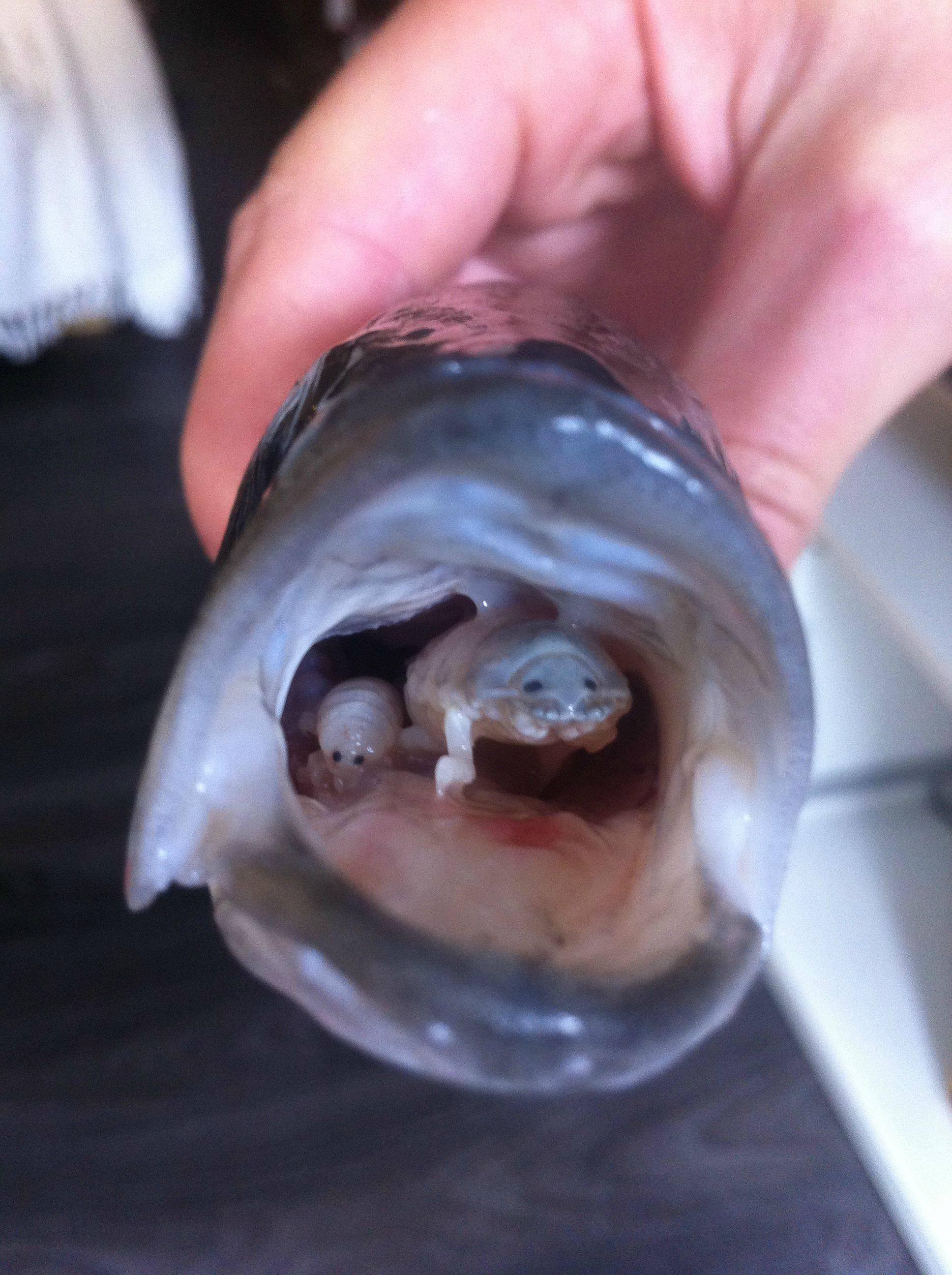 Penis fish parasite