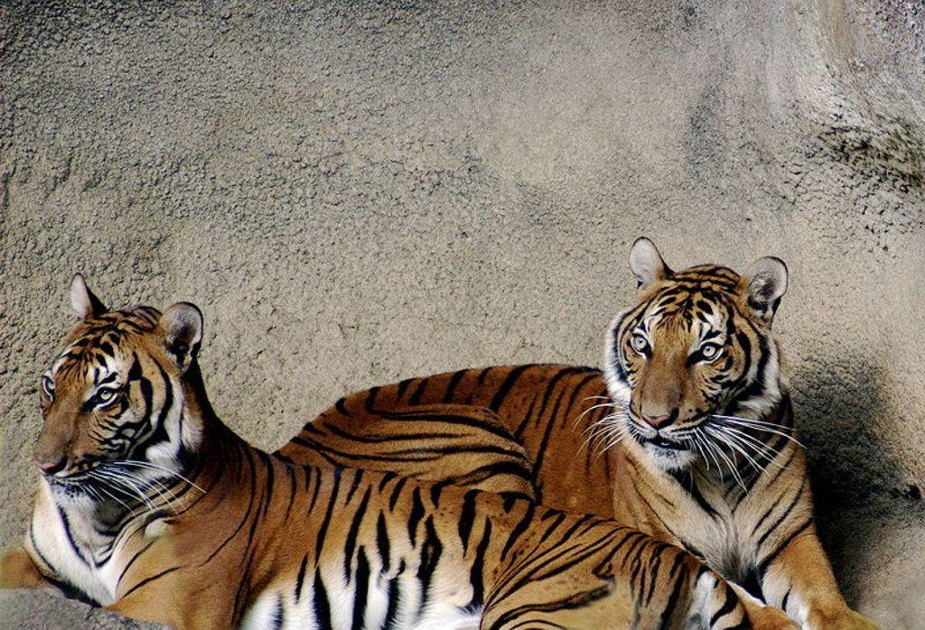 Tigers wife xxx